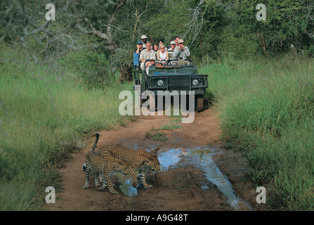 Crowded open topped Landrover with tourist viewing leopards in Mala Mala Game Reserve South Africa - Stock Photo