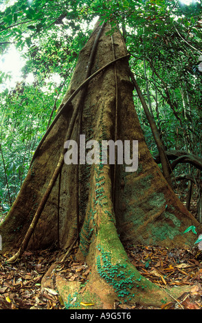 tree roots primary rainforest Langkawi Malaysia - Stock Photo