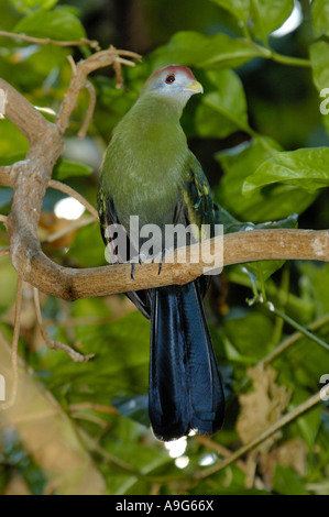 red-crested turaco (Tauraco erythrolophus), perched on branch - Stock Photo