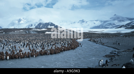 king penguin (Aptenodytes patagonicus), colony at river, Antarctica, Salisbury Plains - Stock Photo