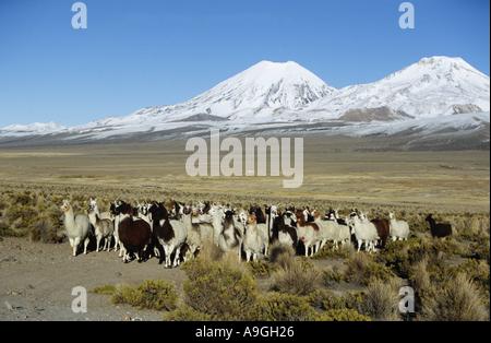 llama (Lama glama), herd with volcanos Parinacota 20807 ft. and Pomerata 20610 ft. Behind, Bolivia, Altiplano, Sajama - Stock Photo