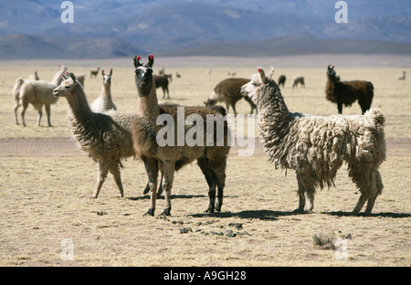 llama (Lama glama), herd, Bolivia, Altiplano, Sajama National Park. - Stock Photo