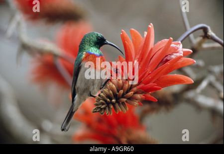 greater double-collared sunbird (Nectarinia afra), male, feeding on a flower of the Red hot poker tree, South Africa, - Stock Photo