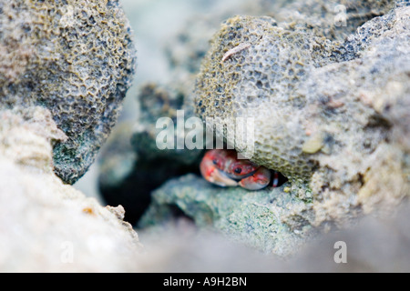 Small red crab hiding under a rock - Stock Photo
