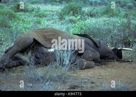 Destruction Dead Mammals Elephant killed by poachers Tsavo Kenya Sept 80 - Stock Photo