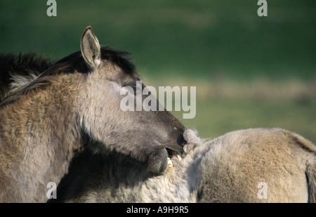 Konik horse (Equus przewalskii f. caballus), grooming - Stock Photo