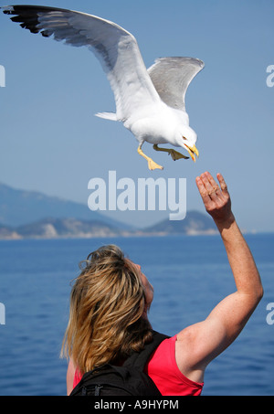 Caspian gull (Larus cachinnans) in flight eating out of someone's hand - Stock Photo