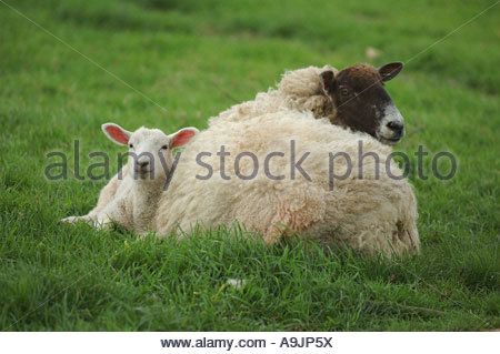 Ewe with her lamb laying in grass field - Stock Photo