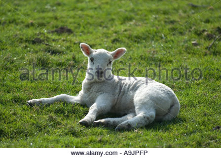 Lamb in Spring, laying on grass in field. Kent, England. - Stock Photo