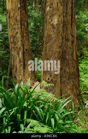 eucalyptus, gum (Eucalyptus spec.), two trunks in the mountain forest, Portugal, Madeira - Stock Photo