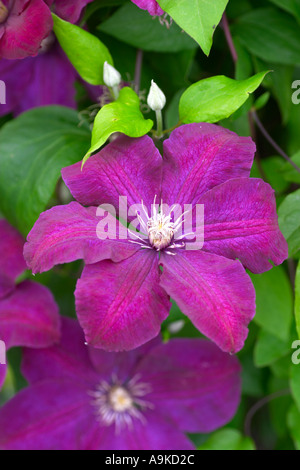 clematis rouge cardinal stock photo royalty free image. Black Bedroom Furniture Sets. Home Design Ideas