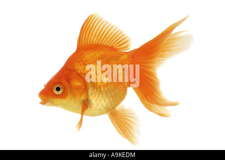 goldfish, common carp, fantail (Carassius auratus auratus) - Stock Photo