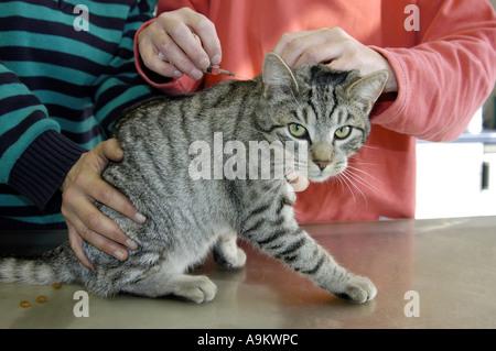 domestic cat, house cat (Felis silvestris f. catus), getting medicine - Stock Photo