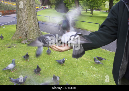 doves & pigeons and allies (Columbiformes), eating out of a hand of a person, Scotland, Edinburgh - Stock Photo