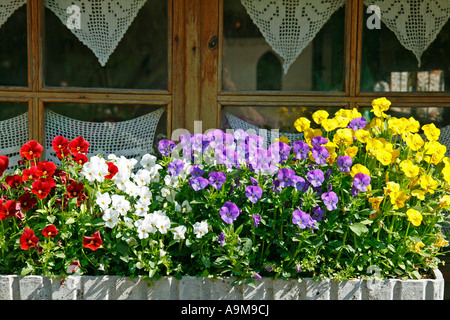 Pansies (Viola tricolor) - Stock Photo