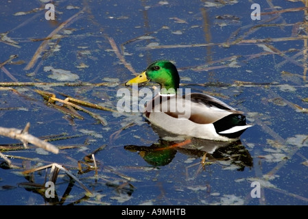 Mallard Duck Anas platyrhynchos male swimming in pond with reeds and algae - Stock Photo