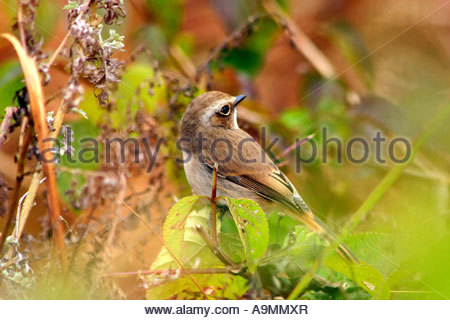 A FEMALE BUSH CHAT - Stock Photo