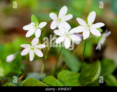 Rue Anemone Thalictrum Thalictroides in the Smoky Mountains - Stock Photo