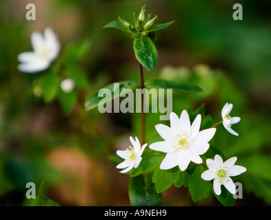 Rue Anemone Thalictrum Thalictroides Flower in the Smoky Mountains - Stock Photo