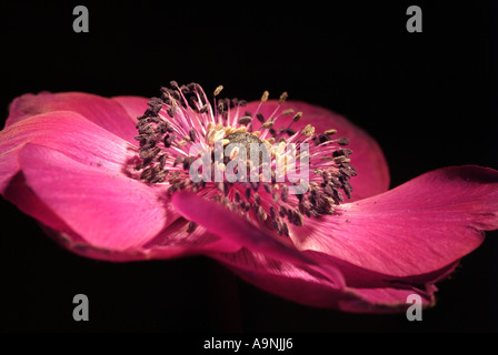 Pink anemone flower (Anemone coronaria) against a black background. - Stock Photo