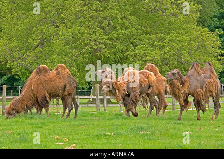 Two humped camels (Camelus bactrianus) at Cotswold Wildlife Park Oxfordshire UK shedding their hair in spring - Stock Photo