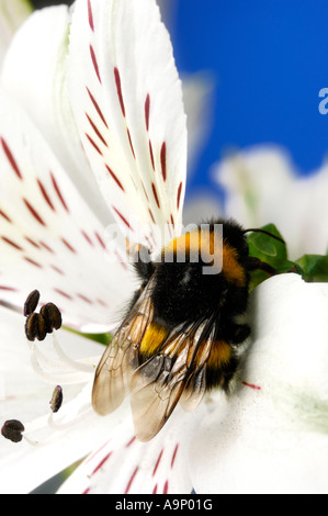 Bumblebee on a white flower macro nature pollination pollinating insects - Stock Photo