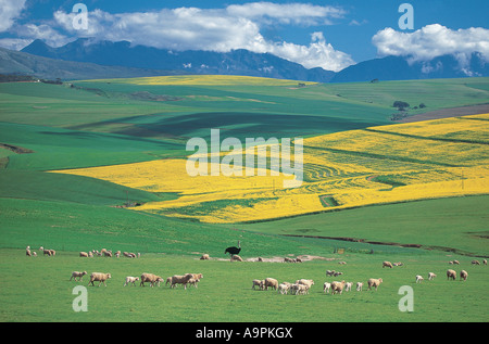 A huge extensive farm in Overberg Western Cape South Africa - Stock Photo