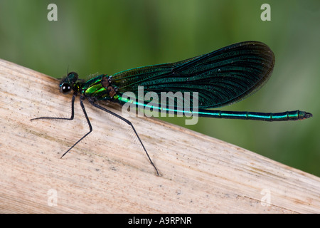 Beautiful Demoiselle Calopteryx virgo at rest on reed with nice out of focus background - Stock Photo