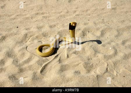 Cape Cobra in the Kalahari sandveld - Stock Photo