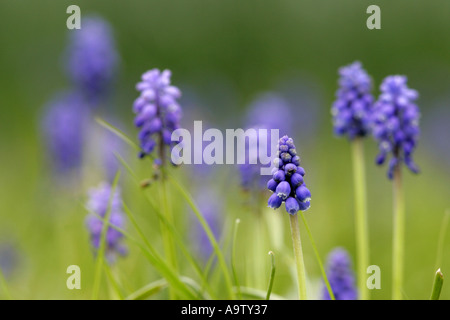 muscari grape hyacinth - Stock Photo