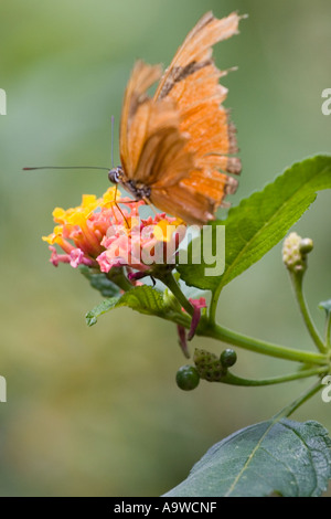 Orange julia longwing butterfly on a pink and yellow flower A - Stock Photo