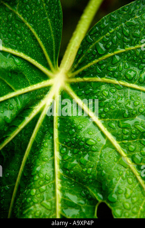 Close up of Japonica leaf, with water droplets on surface - Stock Photo
