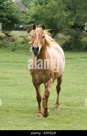 New Forest chestnut stallion - Stock Photo