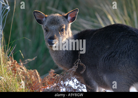 young deer in undergrowth - Stock Photo