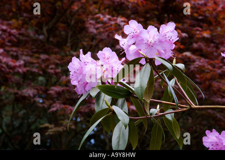 rhododendron bright pink purple flowers in bloom exploding from foliage against a deep dark russet coloured shrubbery - Stock Photo