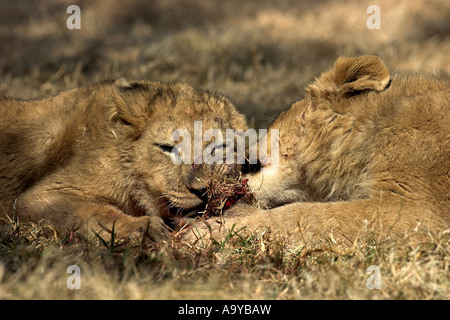 Lion cubs sharing a scrap of food - South Africa - Stock Photo