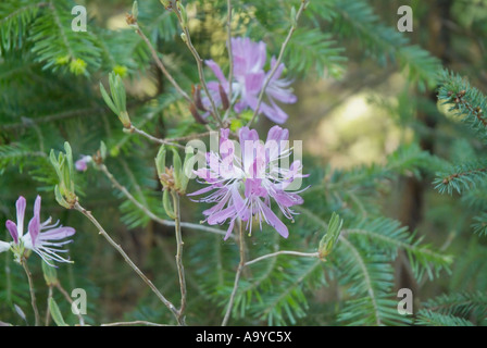 Rhodora- Rhododendron canadense- during the spring months on the side of Meader Ridge Trail - Stock Photo