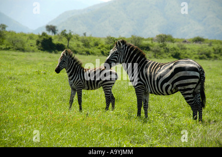 Zebras mother with her foal in the savannah Nechisar National Park near Arba Minch Ethiopia - Stock Photo