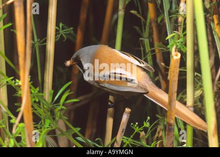 Bearded Reedling, (Panurus biarmicus) with food for fledglings, Hortobagy-lakes, Hungary - Stock Photo
