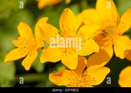 Kingcup, Marsh Marigold, Caltha palustris, Germany - Stock Photo
