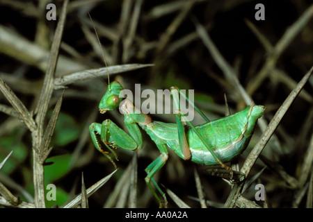 European Dwarf Mantis, Ameles objecta. Green female on bush - Stock Photo