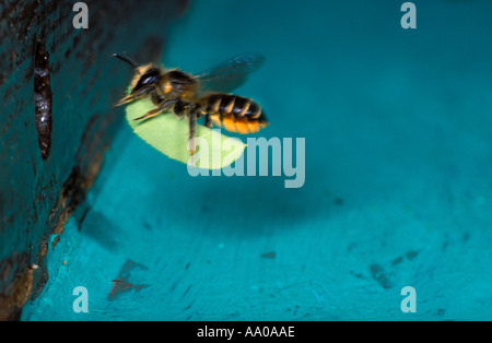 Leaf-cutter Bee, Megachile sp. In flight, carrying a leaf to its nest - Stock Photo