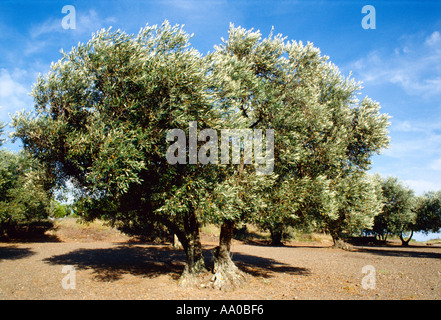 Agriculture - A large old olive tree in a grove / Climent de Secebes, Girona, Catalonia, Spain. - Stock Photo