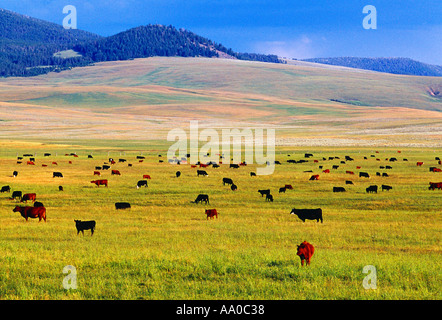 Livestock - Various breeds of beef cattle graze on a lush green pasture; Red Simmental, Black Angus and Black Baldie - Stock Photo