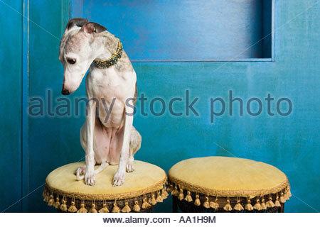 Whippet looking sad - Stock Photo