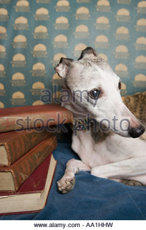 Whippet with pile of books - Stock Photo