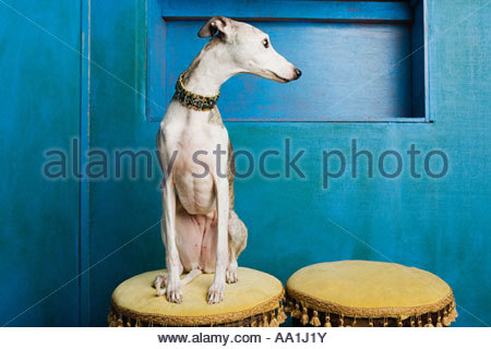 Whippet on a stool - Stock Photo