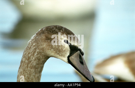 Young mute swan; cygnus anatidae - Stock Photo