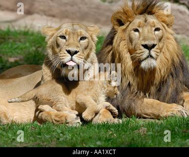Portrait of Lion Family - Stock Photo