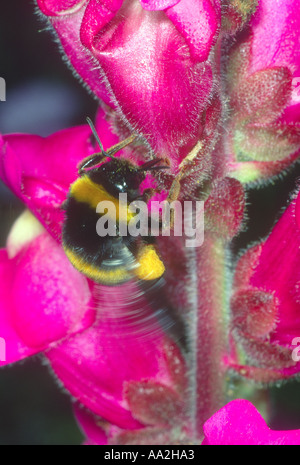 Bumble Bee, Bombus sp. Gathering nectar on flower - Stock Photo